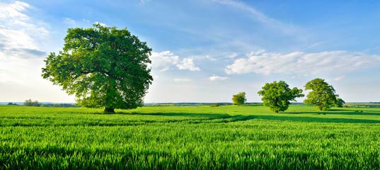 Grünes Feld, alte solitäre Eichen, blauer Himmel