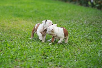 english bulldog puppy enjoy life on greensward