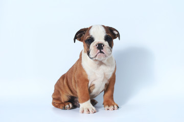 purebred English Bulldog puppy action on white screen