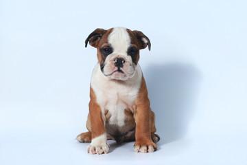 purebred English Bulldog puppy action on white screen