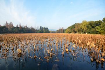 Dead lotus plants during winter on West Lake, Hangzhou.