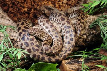 Gefleckter Python / Gefleckter Zwerg-Python (Antaresia childreni)