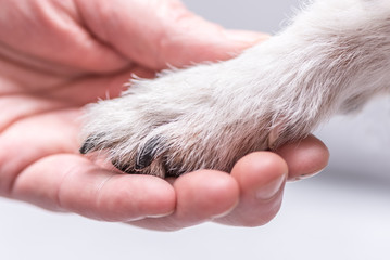 Close up view top of dog paws and human hand - friendship between jack russell terrier foot and human