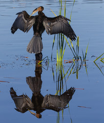 Cormorant, Afrian darter preening itself, reflection in blue water on a sunny morning