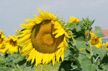 big sunflower and leaf details