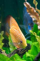 Discus fishes in the aquarium. Symphysodon aequifasciatus.