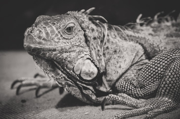 Black and white portrait of orange iguana.