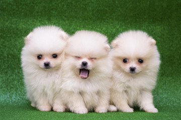 Funny puppies on a green background. Puppies of the Spitz. Christmas card with dogs.