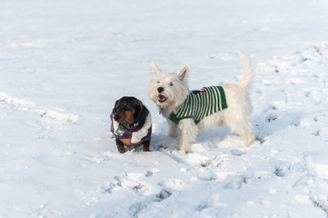 West Highland White Terrier and a dachshund playing in a snow in the park