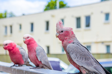 Australian galah parrots Eolophus roseicapilla perched on railing in urban environment
