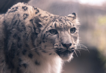 Young white snow leopard in a zoo