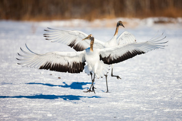 Japanese red head Tancho cranes flying and dancing in Kushiro, Hokkaido, Japan during winter