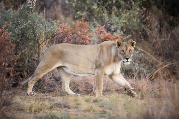 Lone female Lion (Panthera leo) prowling in the Pilanesberg National Park, South Africa