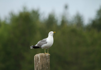 Common gull (Larus canus) on the wooden log