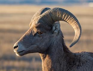 Badlands Bighorn Sheep Portrait