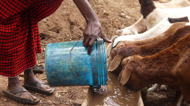 Maasai Giving Water to Sheep