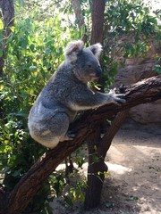 Funny little Koala in a tree at the zoo
