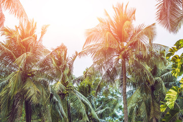 Palm tree crowns with green leaves on sunny sky background. Coco palm tree tops - view from the ground. Palm leaf on sunny sky. Green blue toned photo. Summer travel banner. Exotic island nature image