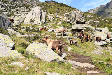 Mountain goats and cows in South Tyrol alps