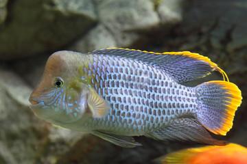 Andinoacara rivulatus. Colorful acara turquoise closeup