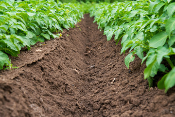 Rows of young potato plants on the field