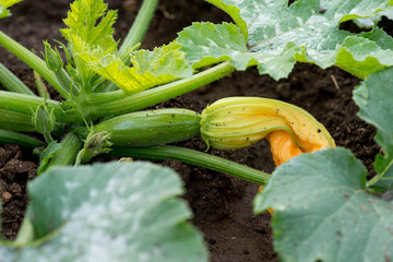flowering zucchini plant in the garden - selective focus