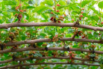 Fresh mulberries in farm.