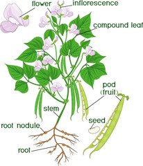 Parts of plant. Morphology of bean plant with root system, flowers, pods and titles
