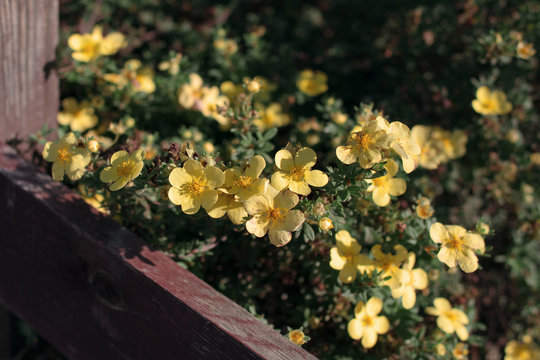 beautiful yellow flowers cinquefoil bloom under the warm rays of the summer sun. plant background gentle backdrop wallpaper