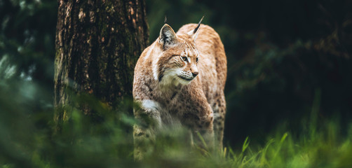 Photo on textile frame Lynx Eurasian lynx (lynx lynx) walking in grass in forest.