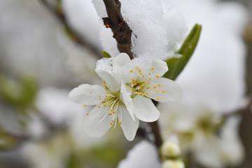 Blüten des Birnbaums im Schnee