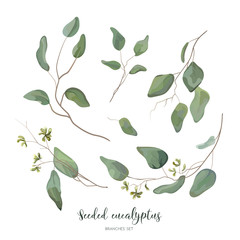 Eucalyptus seeded silver green designer art different foliage natural branches leaves tropical elements in watercolor style set, collection. Vector decorative beautiful elegant illustration for design