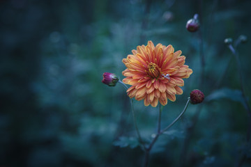 Orange flower of Chrysanthemum with three buds