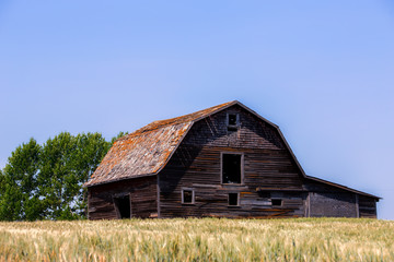 A large old wooden barn with hayloft in a green ripening wheat field in a summer countryside landscape