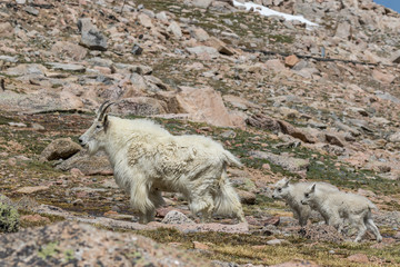 Mountain Goat Nanny and Young