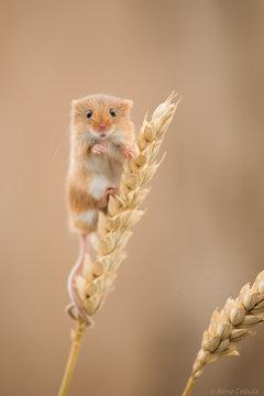 Field mouse climbing plants