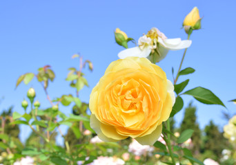 field of yellow roses (Rosaceae)