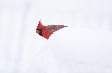 Isolated Cardinal