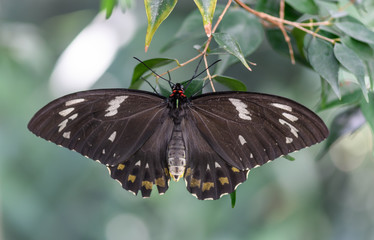 Common Australian Crow Butterfly