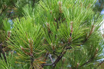 Green branches of pine. Sithonia Peninsula.