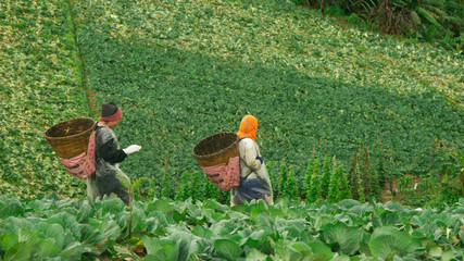 Workers walking up cabbage mountain