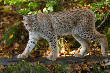 Foto auf Gartenposter Luchs Lynx