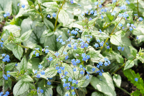 Brunnera Macrophylla Or Siberian Bugloss Or Great Forget Me Not Or