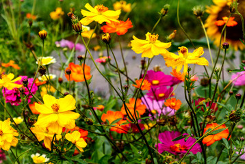 Floral background with colorful daisy like Zinnia flowers