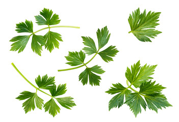 Celery or parsley leaves isolated on white background.