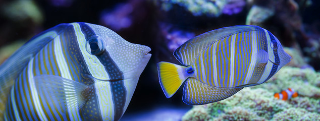 beautiful aquarium fish in a sea aquarium - Zebrasoma veliferum
