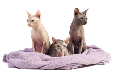 Three egyptian sphynx cats in a towel nest