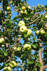Apple tree branches with fruits