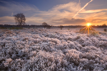 Fototapete - Frosted heather at sunrise in winter in The Netherlands