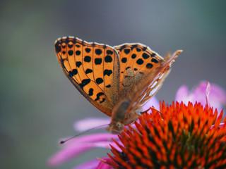 Beautiful butterfly on the coneflower flower in the garden.